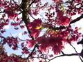 沖縄の桜の名所!開花時期や見頃・お祭り情報も