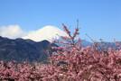河口湖で桜と富士山のコラボを堪能!見頃やおすすめの名所を紹介