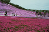 北海道の芝桜・美しい名所を厳選!イベントや見ごろ時期の情報・アクセスもご紹介