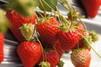 静岡のいちごを徹底紹介!直売所や人気の品種・デザート・スウィーツ情報も