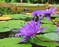 高知の北川村にあるモネの庭は芸術を体感できる庭園!青い睡蓮が見頃な時期は?