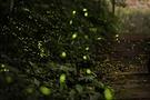 高知のホタルは美しく幻想的!穴場や祭り情報・見頃の時期もご紹介!