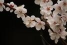 東京で梅が楽しめるのは?名所やおすすめスポットをご紹介!
