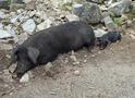 鹿児島の特産黒豚が楽しめるお店21選!しゃぶしゃぶから豚カツまで食べ尽くそう