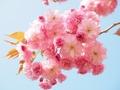 奈良が誇る絶景・吉野の桜を見に行こう!見頃情報やアクセス方法などまとめ