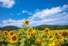 夏の風物詩・柳川ひまわり園へ!見頃やアクセスについてまとめました