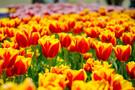 鳥取にある「とっとり花回廊」の魅力を紹介!花畑の絶景は日本最大級