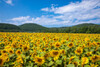 淡路島のあわじ花さじきで絶景のひまわり畑を!見頃の時期やアクセス方法まで紹介