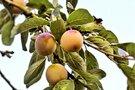 南高梅で有名な和歌山で梅が楽しめるスポットをご紹介!梅グルメや収穫体験も