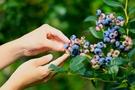 星のや軽井沢「軽井沢ベリーモーニング」で旬のブルーベリーを堪能♡7月20日~8月31日