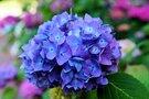 埼玉の紫陽花(あじさい)の名所5選!見頃やおすすめの穴場も