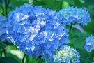 神奈川の紫陽花(あじさい)の名所5選!見頃やおすすめの穴場も