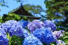 大阪の紫陽花(あじさい)の名所5選!見頃やおすすめの穴場も