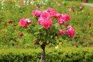 中之島公園は大阪市初の水上公園!美しいバラが人気のおすすめスポットとは