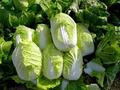【白菜】は生で食べてもおいしい!注意点やおすすめのレシピを伝授