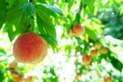 夏の定番【桃】おいしい品種おすすめランキングTOP7!高級品も
