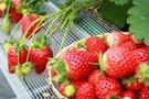 【いちご】の栄養・カロリーを徹底解説!気になる糖質はどれくらい?